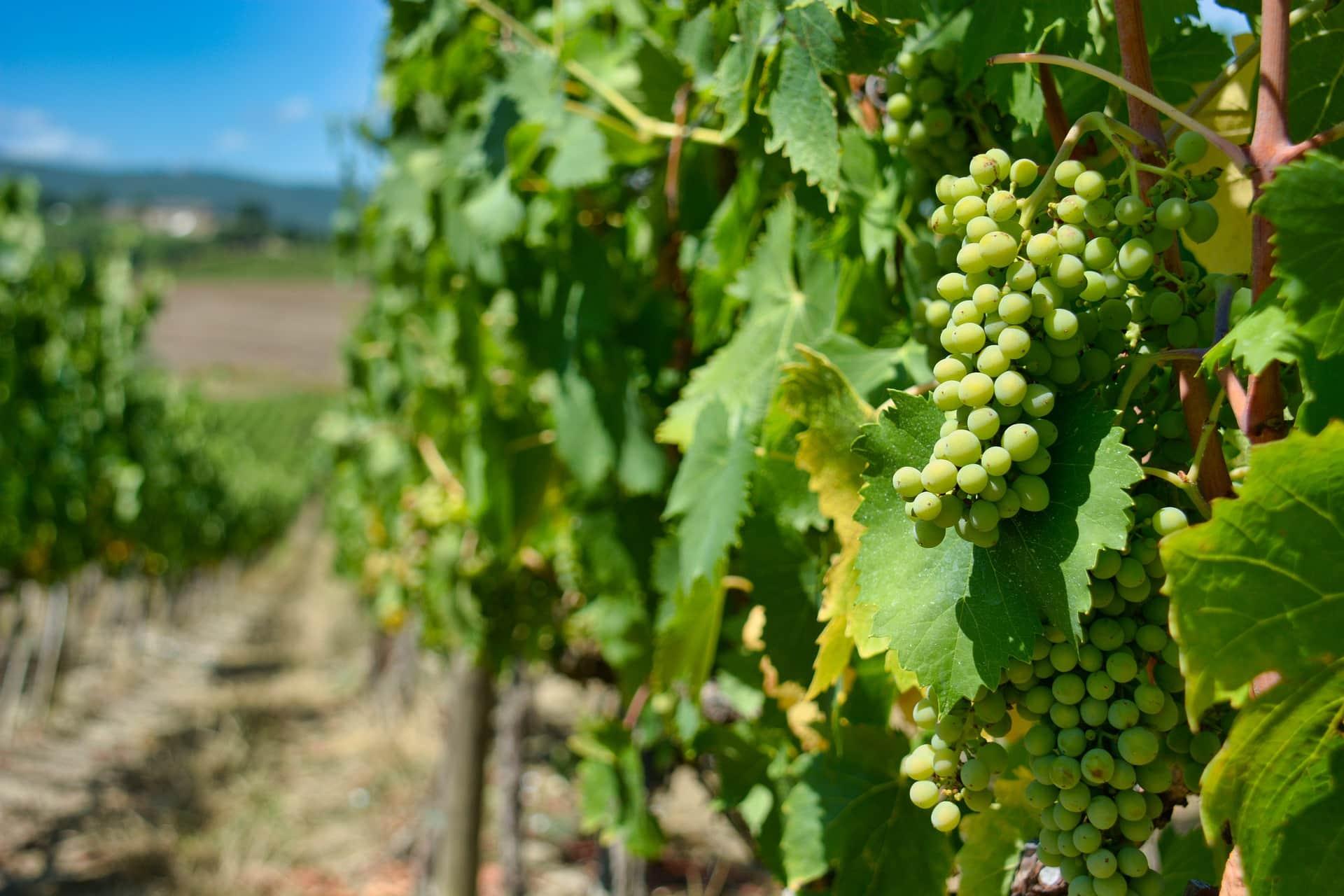 Vineyard Management Tips