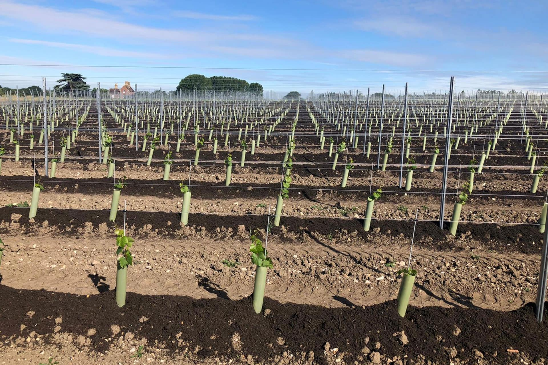 plant a vineyard in kent