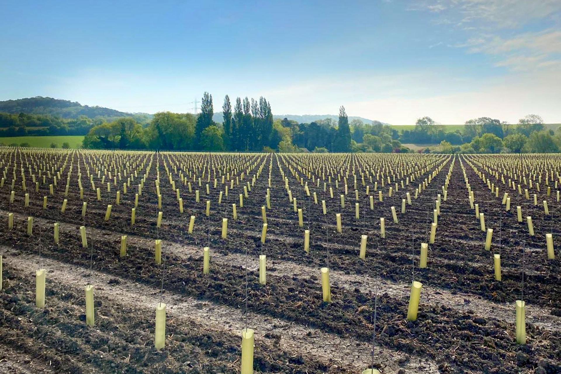 just planted kent vineyard