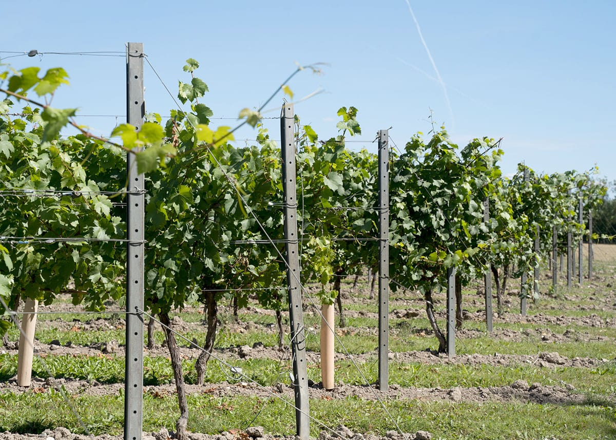 Vineyard Management Tips for Cool Climate Viticulture