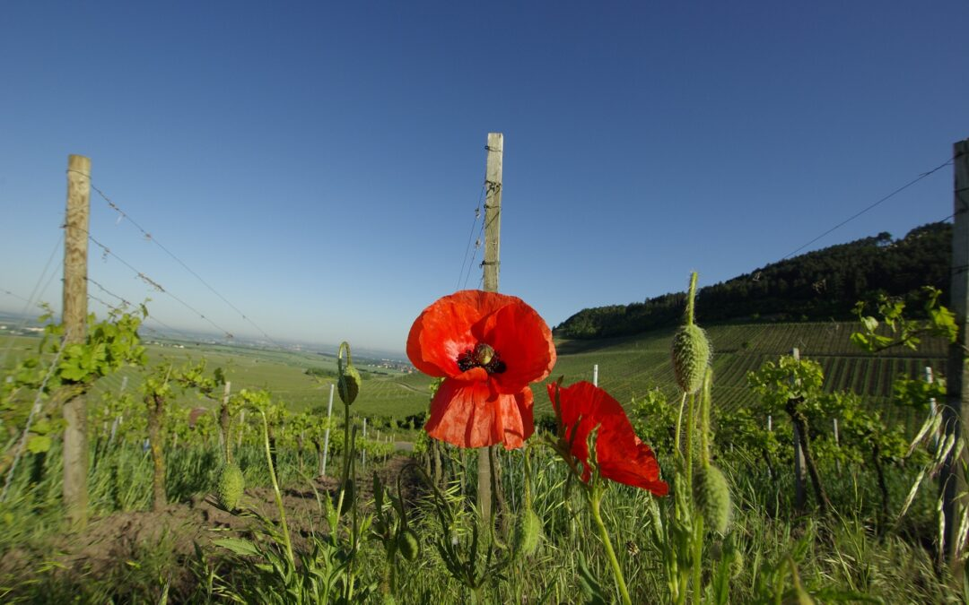 More on Planting a Vineyard