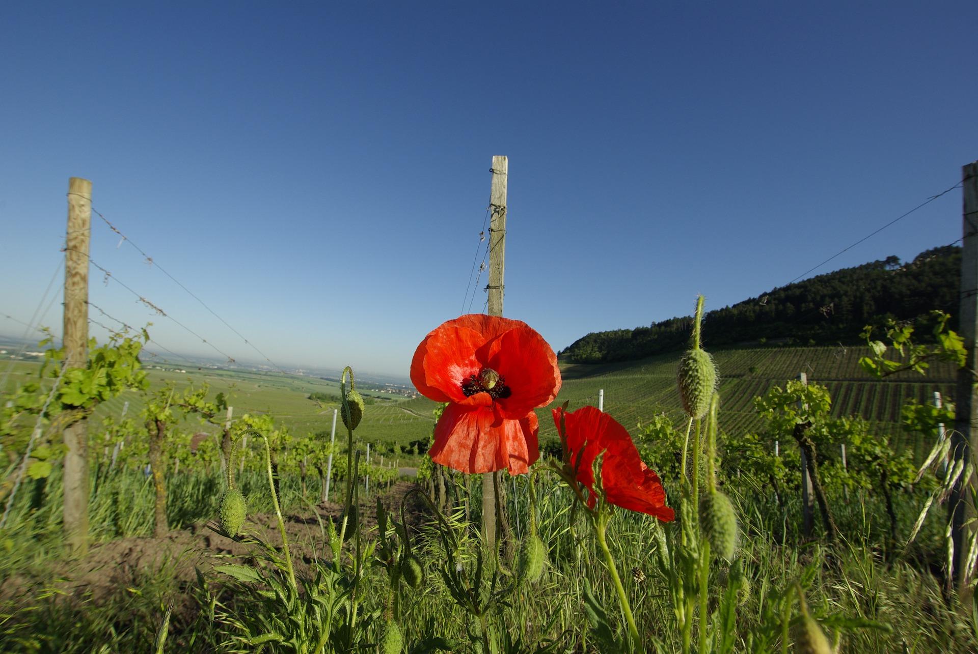 organic vineyard