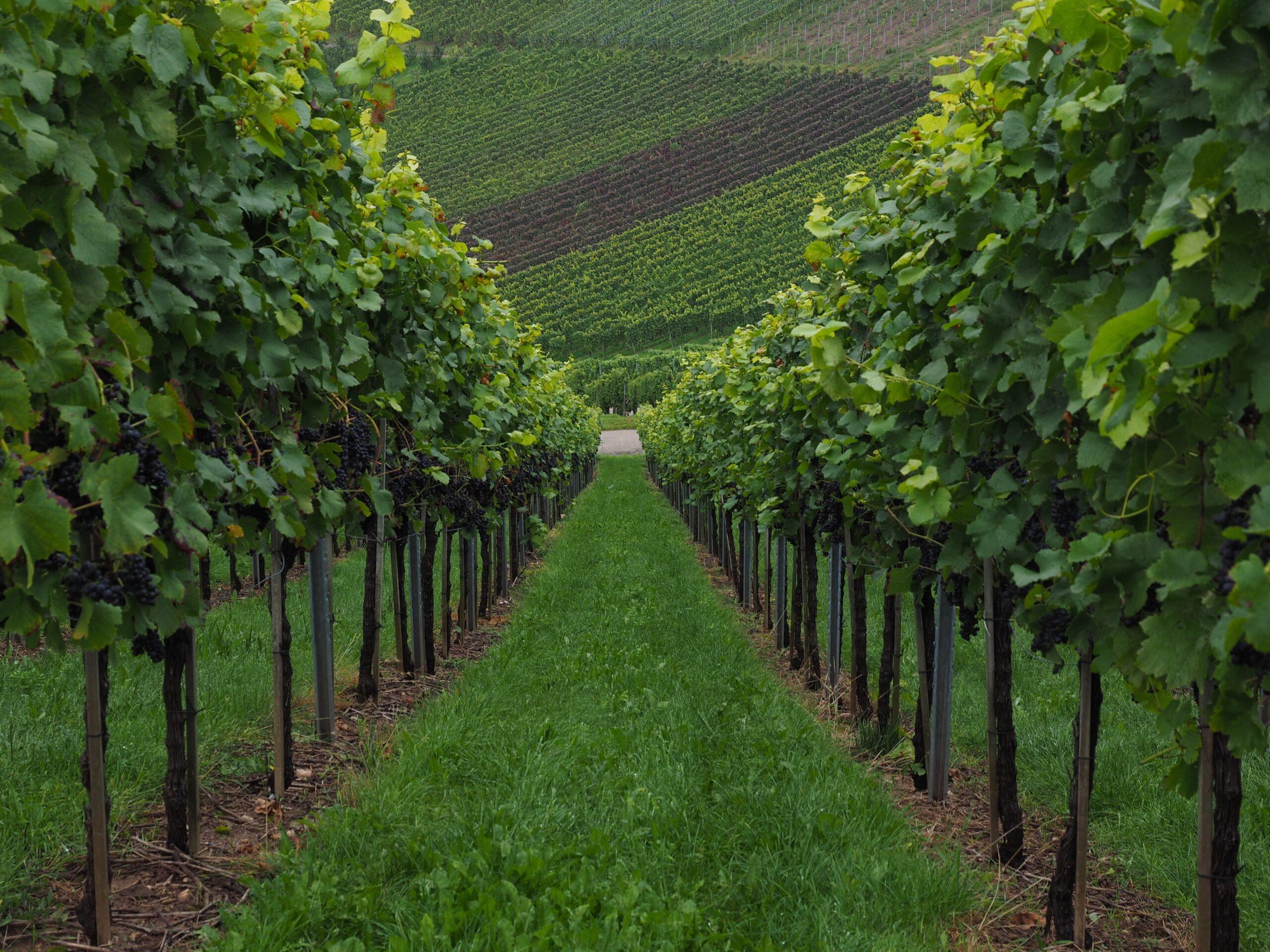 vineyard aspects