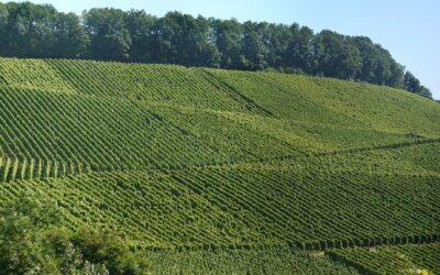Planting a Vineyard – Design and Management
