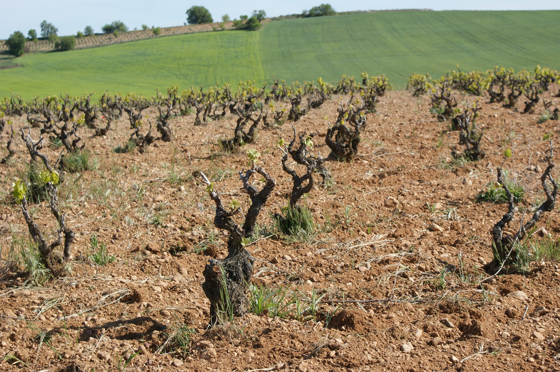 vineyard soil