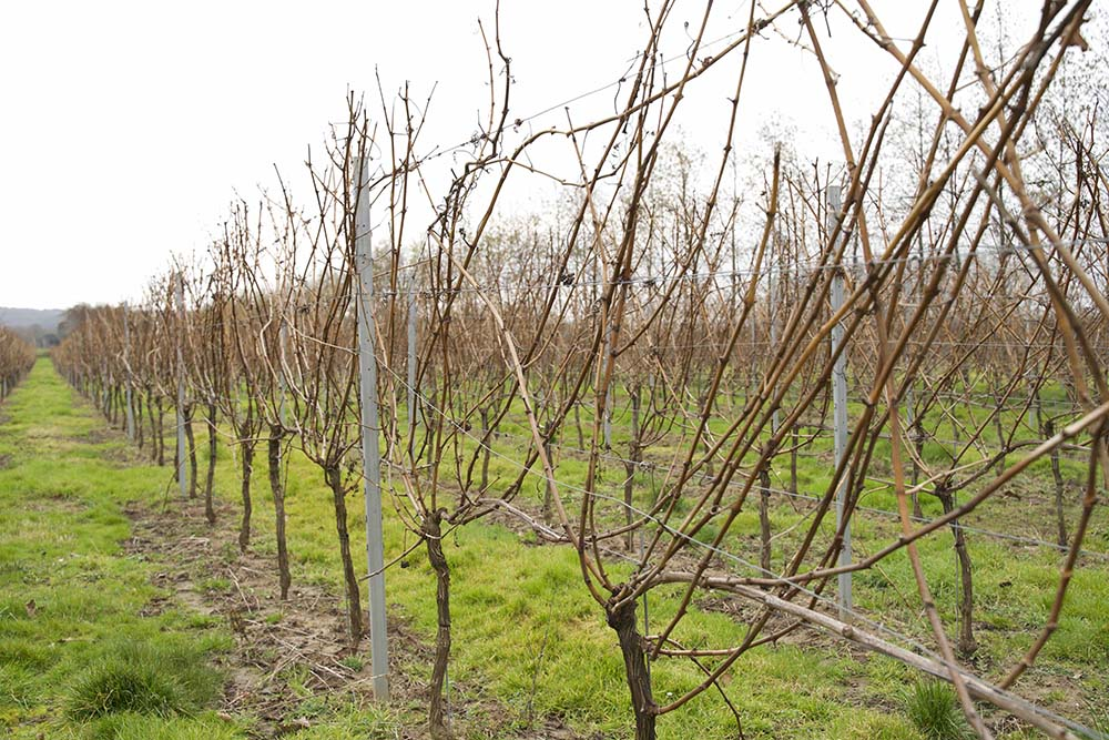 grapevines before pruning